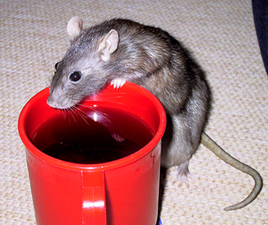 Our rat, Chockie drinking from a beaker of Ribena