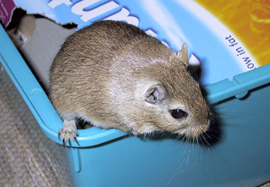 Our sweet gerbil, Barley climbing out of her cage