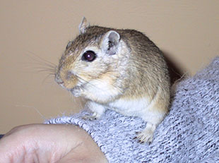 Our gerbil, Barely sitting on Lindsay's arm