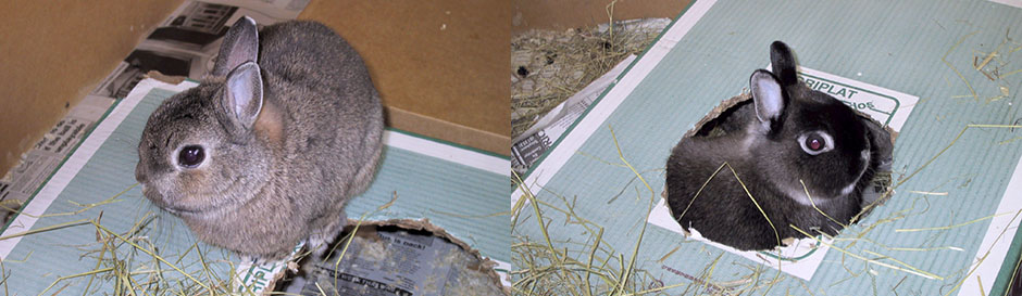 Our bunny, Thumper sitting on a cardboard box, and Flower peeking through a hole in the bottom