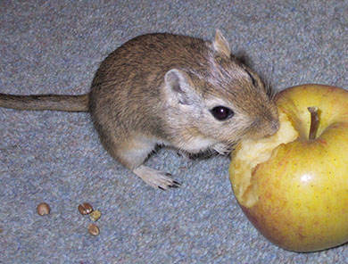 Our little gerbil, Barely nibbling an apple