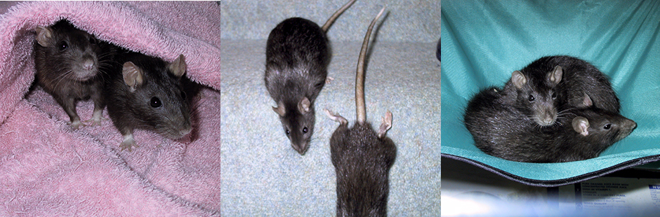 Our beautiful rats, Pipsie & Chockie
