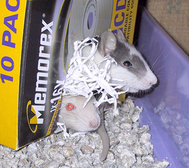 Two baby rats peeking out of a little cardboard box