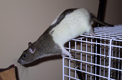 Our agouti hooded rat, Willow leaning off the edge of his cage
