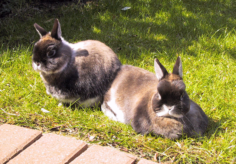 Our dwarf bunnies, Mars and Jupiter relaxing in the garden