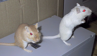 Our two gerbils, Millie and Syrup out exploring