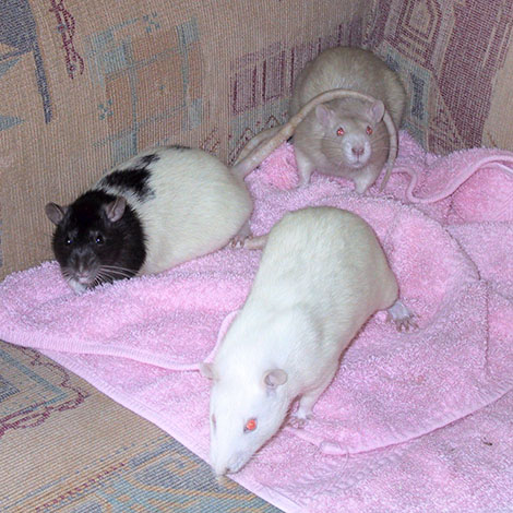 Mouse (front), Mole and Ferret exploring the sofa