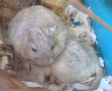 Our two beautiful gerbils curled up to asleep