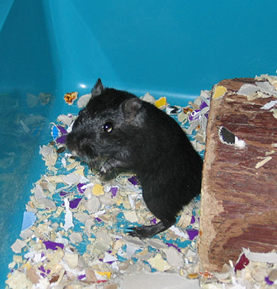 Our gerbil, Berry standing up looking round
