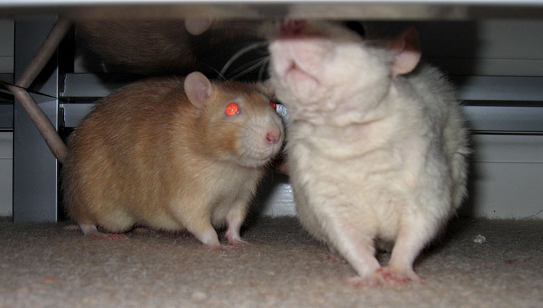 Caramel and Minty on a rare excursion out of their cage