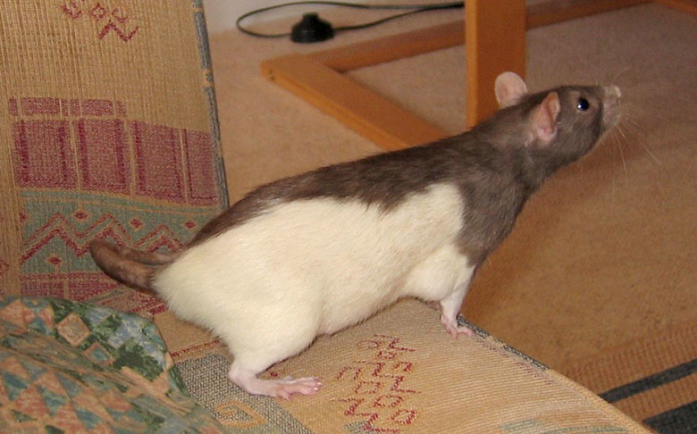 Our rat, Petal leaning off the edge of the sofa