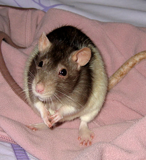 Our sweet little rat home safe after her surgery