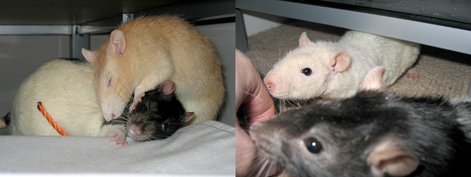 Our rats, Caramel, Toffee and Minty