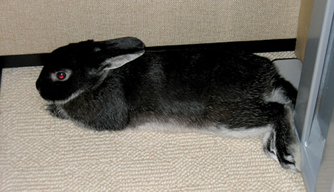 Our bunny Fawn having a lie down