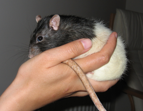 Black hooded rat, Pickle sitting in my hand
