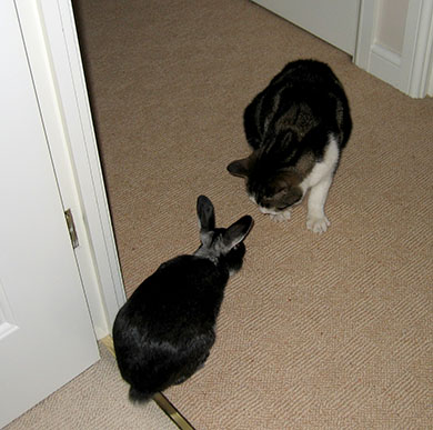 Our bunny, Fawn and his new friend Custard the cat