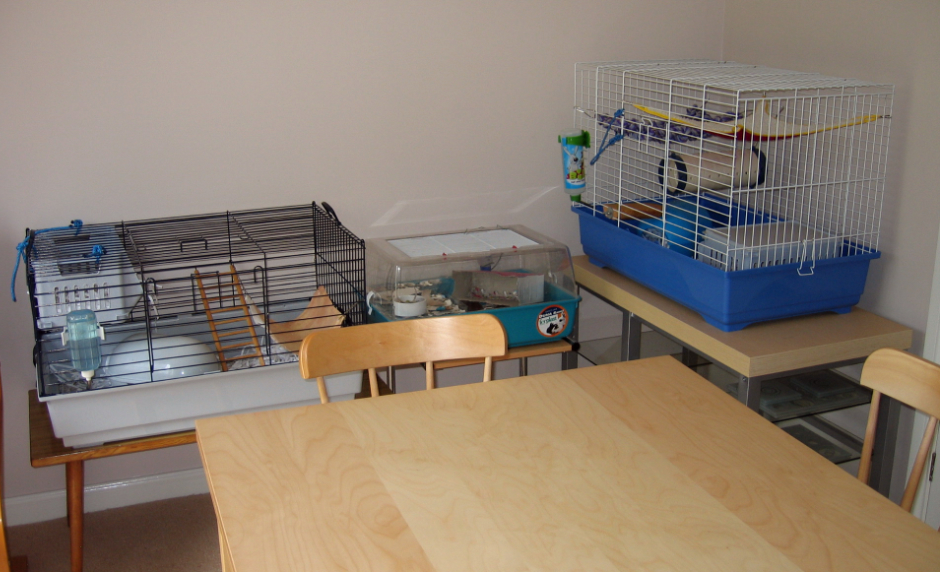 The rat cages in our dinning room
