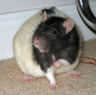Our black hooded rat, Pickle