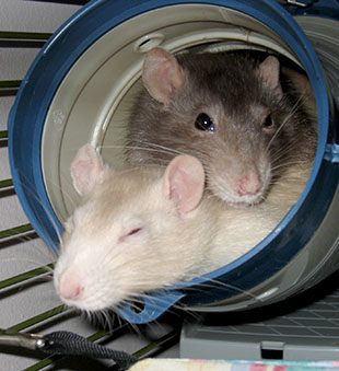 Two rats cuddled in up a plastic tube