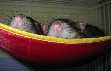 Two rat noses peeking out of their hammock bed