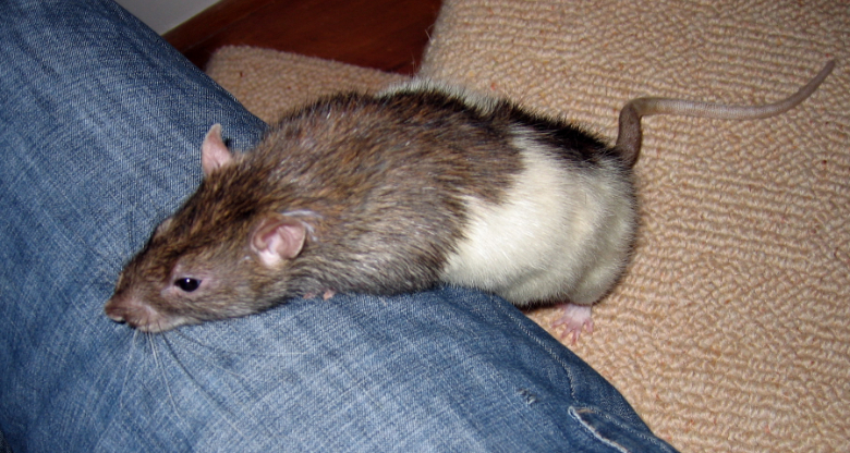 Our new rat, Twix, leaning up on my leg