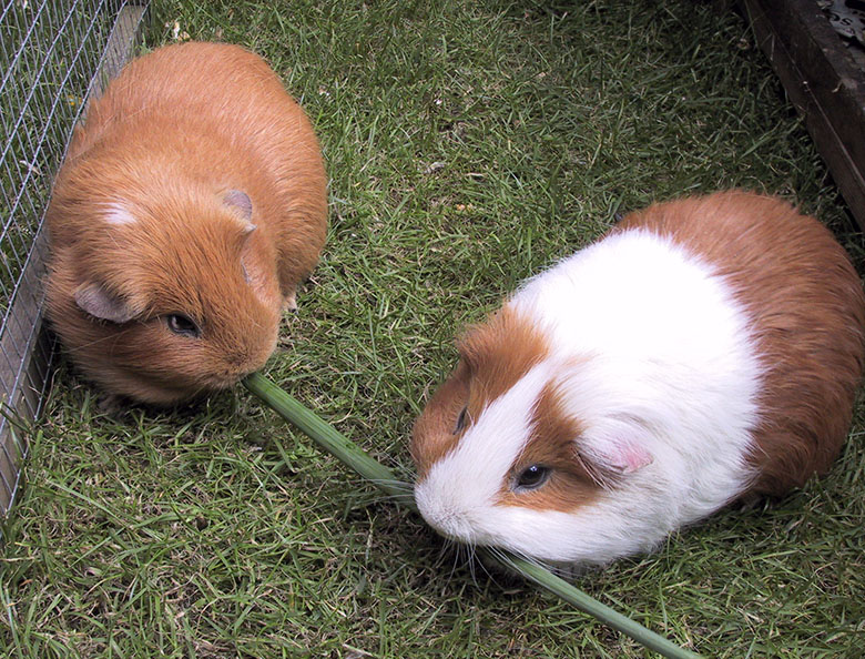Our guinea pigs, Coco and Clipper chomping on a daffodil stem