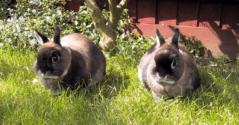 Our dwarf bunnies, Mars & Jupiter, sitting together in the garden