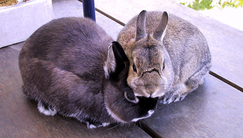 Our house bunnies, Flower and Thumper huddled up not sure about being outside