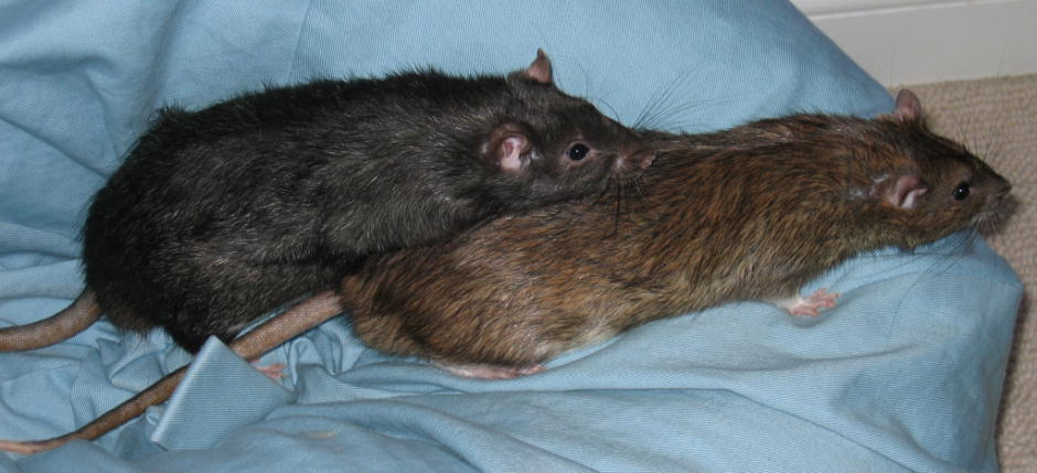 My two ratttie boys, Pepper and Pippin, playing on a bean bag