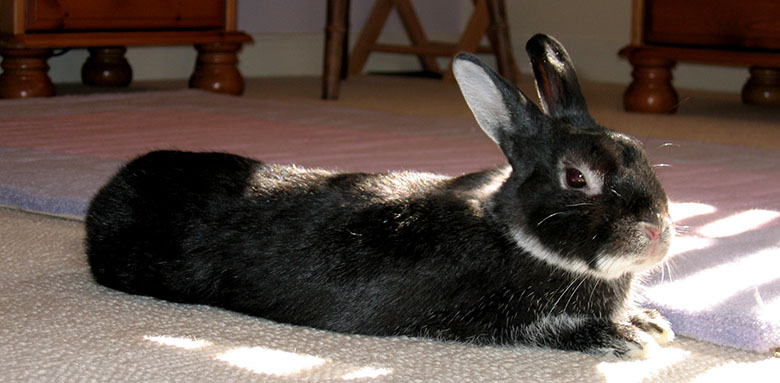 Our gorgeous dwarf bunny, Fawn relaxing in the sunshine