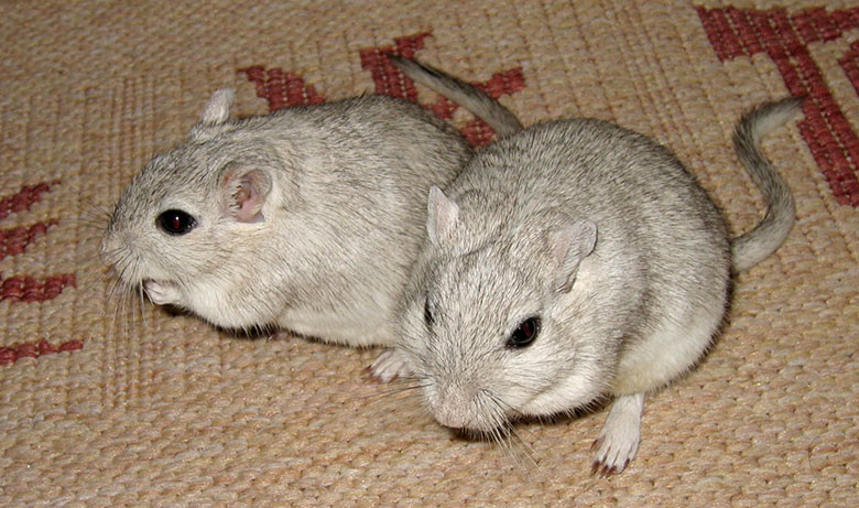 Our sweet gerbils, Cheddar and Chive