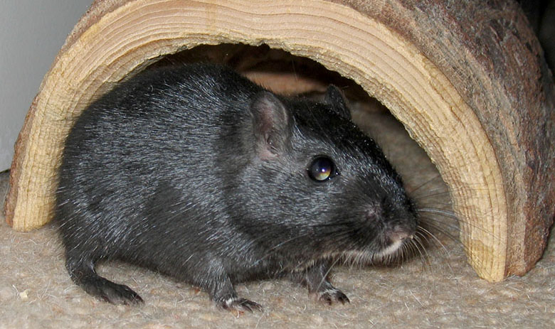 Our new gerbil, Berry