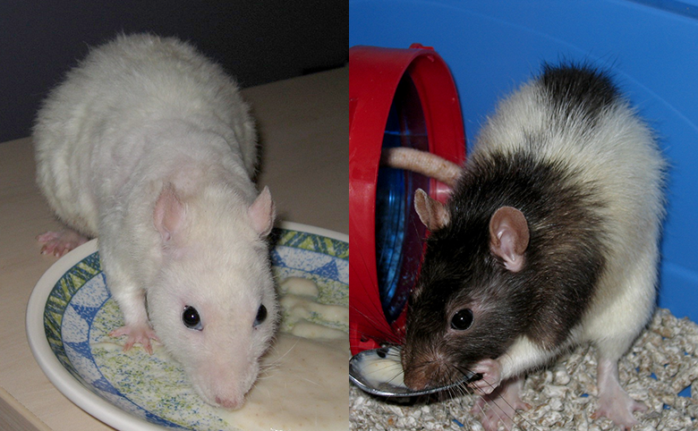 Our rats, Minty and Rummy eating baby food
