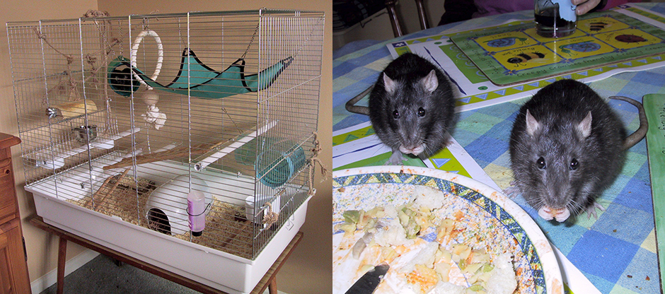Our rat cage (left) and our two rats helping themselves to our dinner