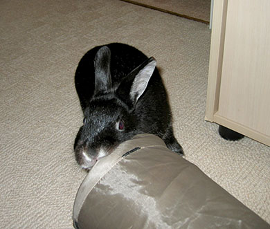 Our dwarf bunny, Fawn playing with his fabric tunnel