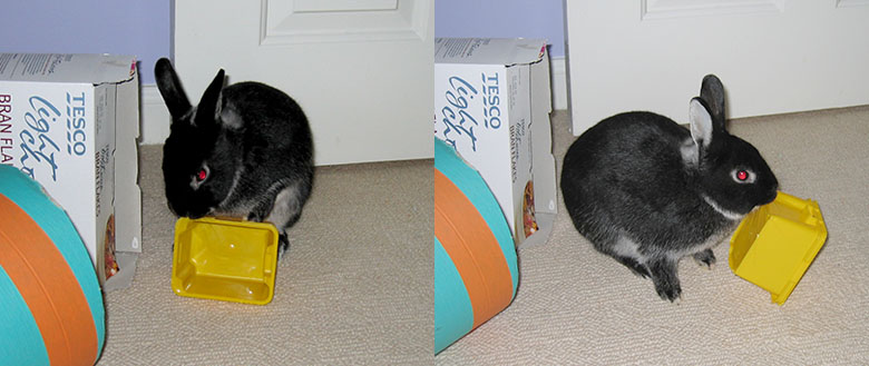 Our dwarf bunny, Fawn playing with a plastic storage pot