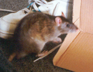 Our rat, Crunchie out playing