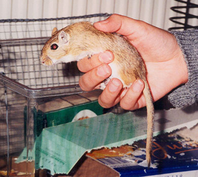 Our gerbil Fudge being held