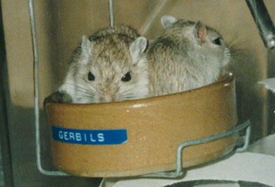 Our two baby gerbils sitting in their food bowl
