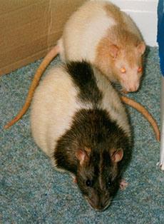 Our rats, Dusty & Smarty out playing