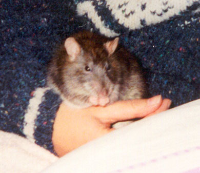 Our rat Crunchie sitting in Lindsay's hand washing