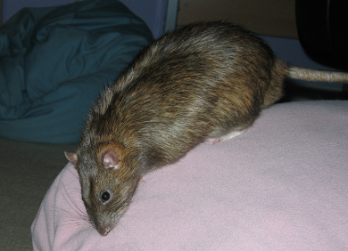 Our rat, pippin, sitting on my back