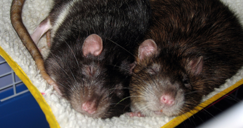 Two happy rats side-by-side in their hammock