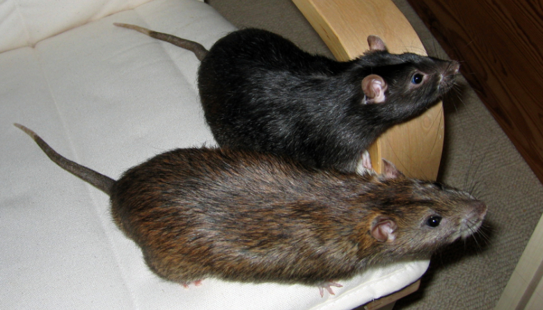 My beautiful rattie boys out playing