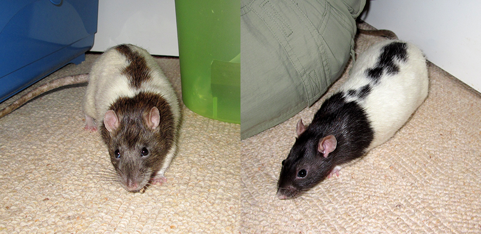 Our two boy rats, Chestnut and Conker