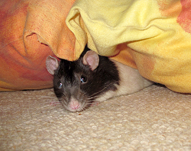 Our little black hooded rat, Conker, peeking out from under a cushion