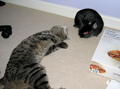 Our cat, Treacle rolling on the floor to say hello to our bunny, Fawn