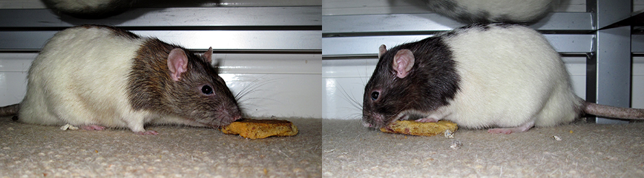 Our two rats, Chestnut and Conker enjoying some cookie