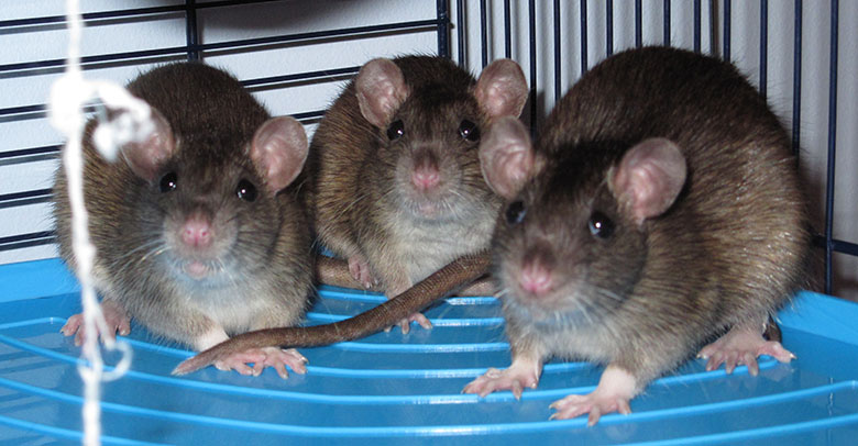 Three baby agouti rats huddled up together