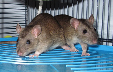 Two of our baby agouti rats sitting on a shelf in their new home